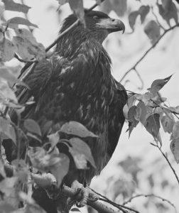 Team - Eagle